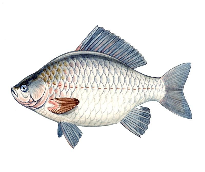 Рыбалка на карася в рязанской области